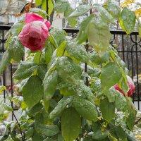 Розы под первым снегом :: Андрей Мердишев