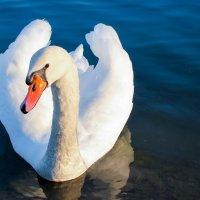Лебединый взгляд. :: Татьяна