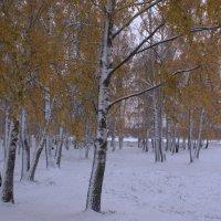 Октябрьские березы в снежном уборе :: Татьяна Ломтева
