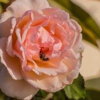 роза чайная :: venera