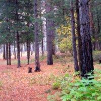 В кедраче осенью . :: Мила Бовкун