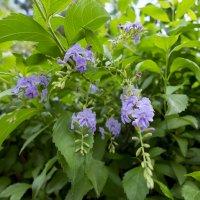 Цветочки синие :: Александр Деревяшкин