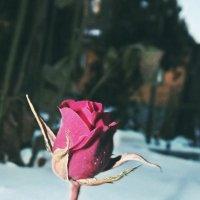 Аленький цветочек :: Валя Дрозд