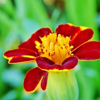 Увидеть красоту в простых цветах :: Валентина Пирогова