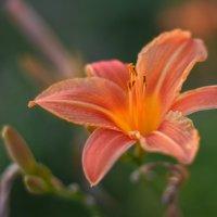 цветок :: Виталий Городниченко