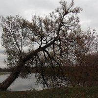 Наклонилось дерево к реке :: Сергей Михальченко