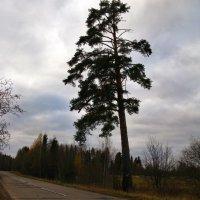 Пейзаж с сосной. :: ТАТЬЯНА (tatik)