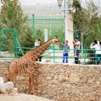 Фотосессия для жирафа :: Григорий Карамянц