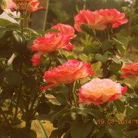 Розы :: Лика Кулиш