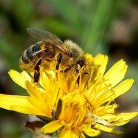Пчёлка :: Вероника