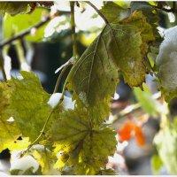 замість тебе в саду білий сніг на зеленому листі... :: Виталий Бидюк
