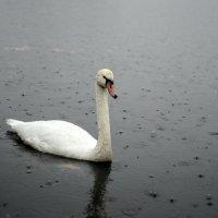 Лебедь :: Ольга  Пусова