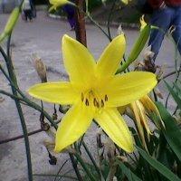 Жёлтая лилия в городе :: Миша Любчик
