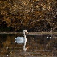 лебедь одинокий :: Ирина Кулагина