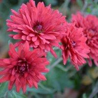 осенние хризантемы :: Кристина Клишина