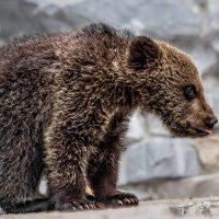 Медвежонок :: Nn semonov_nn