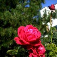 Осенние розы особенно хороши :: Татьяна Пальчикова