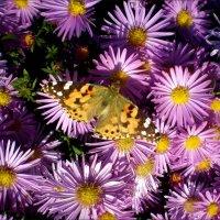 Бабочка на осенних цветах :: Татьяна Пальчикова