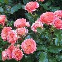 Дивная пора цветенья роз! :: Ирина