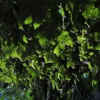 виноград на рассвете :: Наталья Сорокина