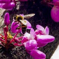 пчела на иудином дереве :: Олег Мартоник