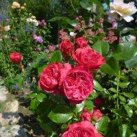 роза  Red Leonardo da Vinci :: lenrouz