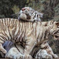 Тигрица с тигрёнком :: Nn semonov_nn