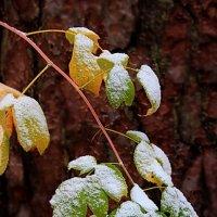 Первые снежинки приютив... :: Лесо-Вед (Баранов)