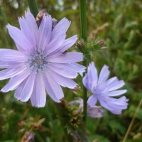 Цветёт цикорий у дороги :: Svetlana27