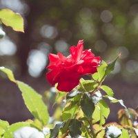 Роза :: Ivan teamen