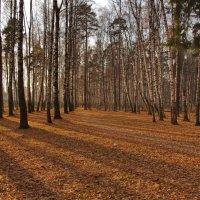 Полосатый лес. :: Ирина Нафаня