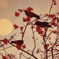 Горьких нот ягоды для птичьего оркестра :: Александр | Матвей БЕЛЫЙ