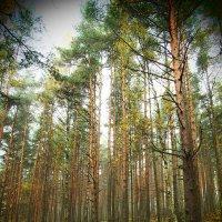 Сосновый лес. :: сергей лебедев