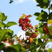 ягодки :: Павел Рябцев