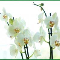 Фаленопсис 2 (орхидея) :: YURII K