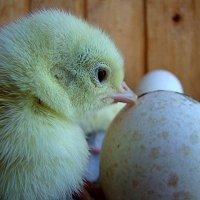 Что же было в начале, яйцо или курица ? :: Маргарита ( Марта ) Дрожжина