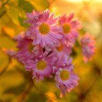 хризантемы :: Dorosia