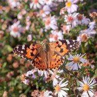 Бабочкино лето 2... :: Елена Васильева