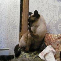 Мои сиамские коты. :: Елена Звягинцева