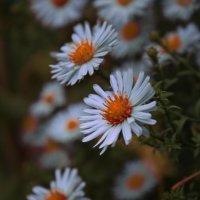 Осенние цветы :: Анастасия Сулимова