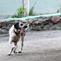 Собака в пятнах. :: Сергей Касимов