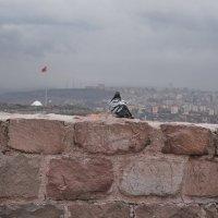 Голубь Турции :: Elena Balatskaya