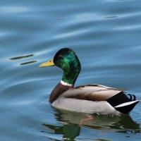 Duck :: Виктория Целуйко