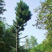 Дерево :: Станислав Джулай