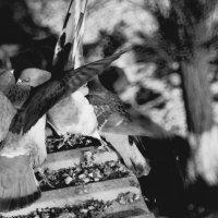 голуби :: Лариса Панченко