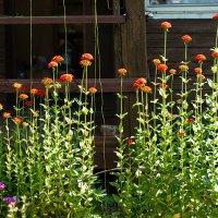 Забор из цветов :: Ирина Татьяничева