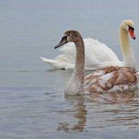 Один серый другой белый, два веселых гуся=) :: Анастасия Андреева
