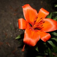 Огненый цветок :: Петелин Андрей