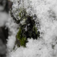 мох под снегом :: Александр Кузин