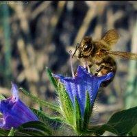 Пчела :: DR photopehota